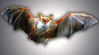 Rabid bat found in Bellevue