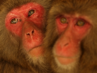 Macaques could mimic human speech