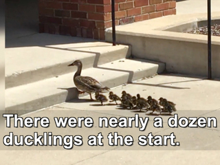 Ducklings rescued after falling in storm drain