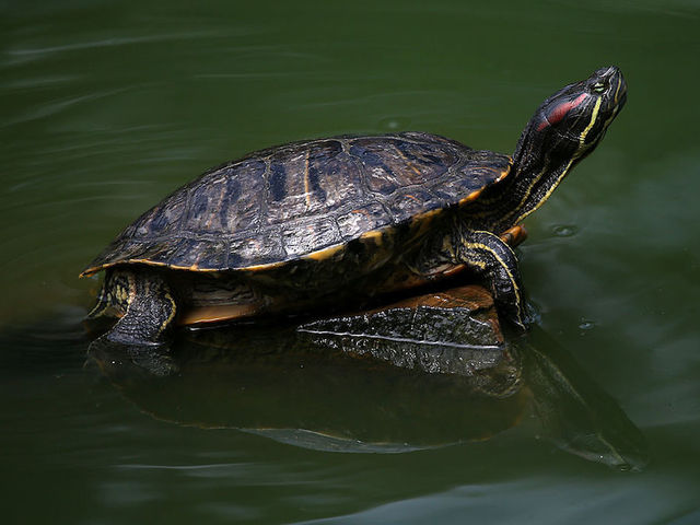 Pet Turtles Blamed For Salmonella Outbreak in 13 States