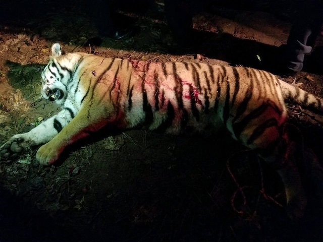 Henry County police respond to escaped tiger