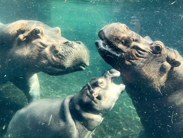 Zoo Mourns Loss Of Henry The Hippo